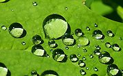 Water drops act like magnifier lenses on a green leaf. Hike the Beckler Peak Trail, 7.4 miles round trip with 2200 feet gain, in Mount Baker-Snoqualmie National Forest, Washington, USA. See vistas of the town of Skykomish, Skykomish Valley, and Alpine Lakes Wilderness, Wild Sky Wilderness and Henry M. Jackson Wilderness. Directions: Drive US Highway 2 to near Milepost 52, and turn north onto Forest Service Road 6066. Drive 6.6 miles on a gravel road to the Jennifer Dunn Trailhead.