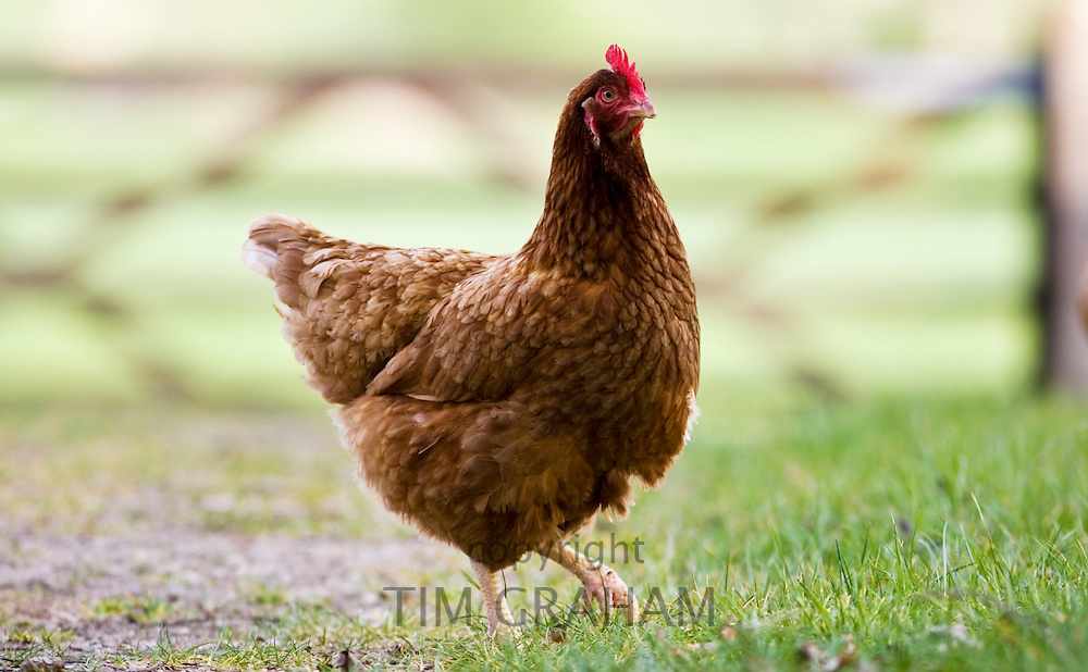 Free-range hen, Chedworth, Gloucestershire, United Kingdom