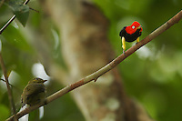Red-capped Manakin (Pipra mentalis).Male performing backwards slide display with thigh presentation to a female at his display perch....Location:  N 09º09.38', W79º44.56'.Soberama National Park, Gamboa, Panama.