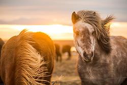 Icelandic Horses near Akranes, Iceland. 08/01/16. Photo by Andrew Tallon