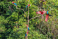 flock of macaws standing in a three in the peruvian Amazon jungle at Madre de Dios Peru