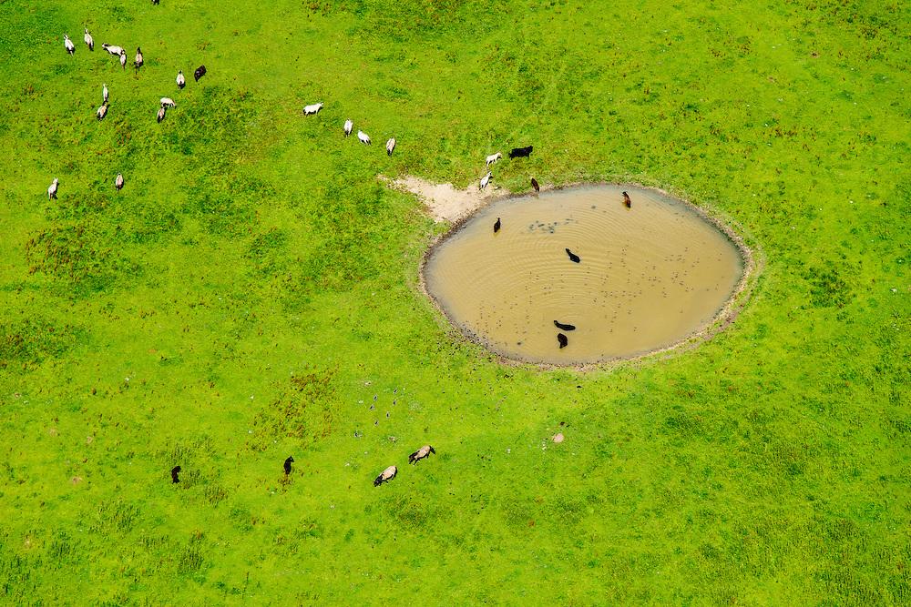 Nederland, Gelderland, Gemeente Buren, 26-06-2013; Eiland van Maurik. Runderen en paarden grazen in de uiterwaarden van de Neder-rijn en zoeken verkoeling in het water. <br /> Cattle and horses grazing in the floodplains of the Lower Rhine and cooling down in the pools. <br /> luchtfoto (toeslag op standaard tarieven);<br /> aerial photo (additional fee required);<br /> copyright foto/photo Siebe Swart.