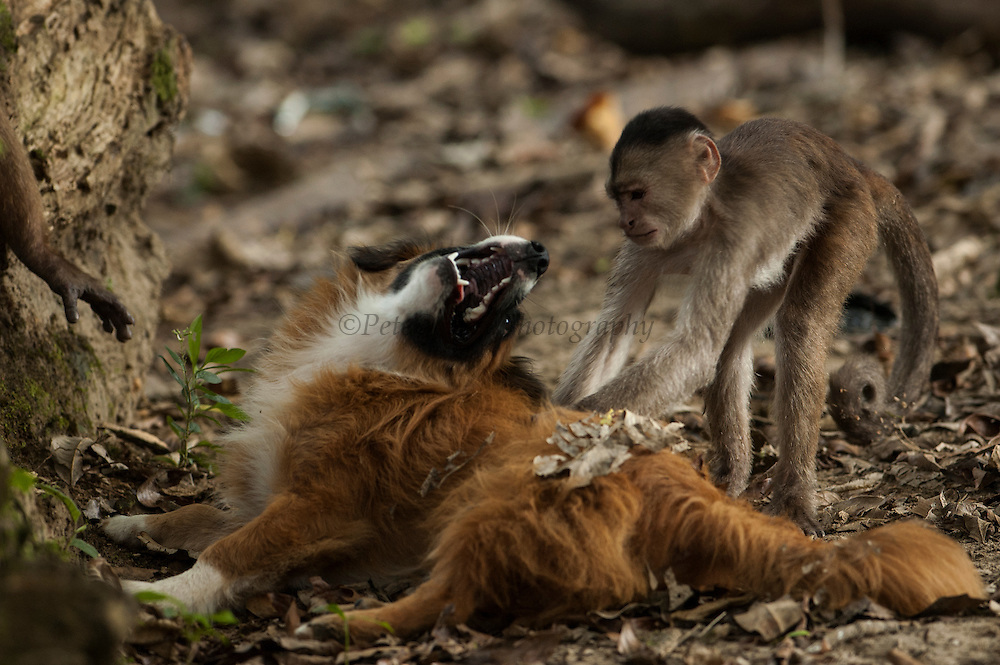 White-fronted capuchin monkeys playing with local dog on the beach (Cebus albifrons) WILD MONKEY FORMING PART OF A TROOP LIVING IN THE JUNGLE TOWN OF PUERTO MISAHUALLI<br /> Puerto Misahualli, Amazon rain forest, ECUADOR, South America<br /> RANGE: Isolated areas in N Colobia, Venezuela and coastal Ecuador; and middle and upper Amazon Basin of Colombia, Venezuela, Ecuador, Peru, Bolivia and Brazil - west of Rios negro and Tapajóz.<br /> These are diurnal monkeys with prehensile tails. They live at all levels of the forest, including the ground and feed on fruit, seeds and anthropods. They live in large troops.[#Beginning of Shooting Data Section]<br /> Nikon D70<br /> Focal Length: 70mm<br /> Optimize Image: Custom<br /> Color Mode: Mode II (Adobe RGB)<br /> Noise Reduction: OFF<br /> 2005/01/22 10:15:26.1<br /> Exposure Mode: Aperture Priority<br /> White Balance: Cloudy<br /> Tone Comp: Normal<br /> RAW (12-bit) Lossless<br /> Metering Mode: Multi-Pattern<br /> AF Mode: AF-C<br /> Hue Adjustment: 0°<br /> Image Size:  Large (2000 x 3008)<br /> 1/125 sec - F/4.5<br /> Flash Sync Mode: Slow Sync<br /> Saturation:  Normal<br /> Exposure Comp.: -0.3 EV<br /> Auto Flash Mode: Built-in TTL<br /> Sharpening: None<br /> Lens: 35-70mm F/2.8 D<br /> Sensitivity: ISO 400<br /> Auto Flash Comp: -2.7 EV<br /> Image Comment:                                     <br /> [#End of Shooting Data Section]