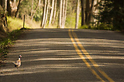 A wild pheasant walks along a road on Guemes Island, San Juan Islands, Washington.