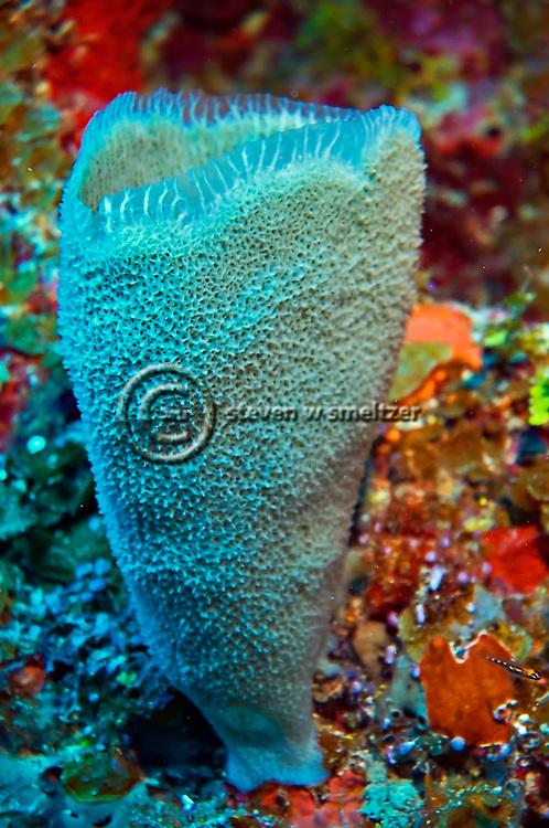 Azure Vase Sponge Babylon, Grand Cayman