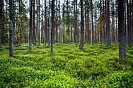 Jämtland 160910: <br /> En härlig skog full av blåbärsris vid Tysjöarnas naturreservat. <br /> <br /> Foto: Per Danielsson