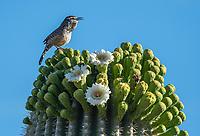 Cactus Wren, Campylorhynchus brunneicapillus, perches on a blooming Saguaro cactus, Carnegiea gigantea, in Saguaro National Park, Arizona