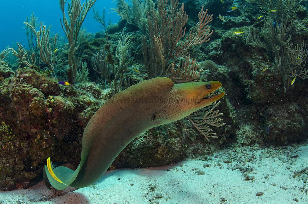 Green Moray (Gymnothorax funebris)<br /> Hol Chan Marine Reserve<br /> Ambergris Caye<br /> Belize<br /> Central America