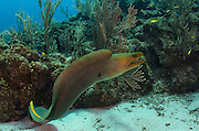 Green Moray (Gymnothorax funebris)<br /> Hol Chan Marine Reserve<br /> Ambergris Caye<br /> Belize<br /> Central America