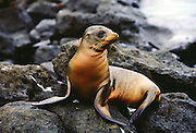 Sea lion pup rests on rocks, Galapagos Islands, Ecuador RESERVED USE - NOT FOR DOWNLOAD -  FOR USE CONTACT TIM GRAHAM