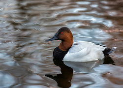 The Canvasback (Aythya valisineria) is the largest of the North American diving ducks. The adult male (drake) has a black bill, a chestnut red head and neck, a black breast, a grayish back, black rump, and a blackish brown tail. The drake's sides, back, and belly are white with fine vermiculation resembling the weave of a canvas, which gave rise to the bird's common name