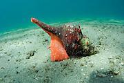 A Horse conch, Pleuroploca gigantea, crawls over the sandy bottom of the Lake Worth Lagoon, Palm Beach County, FL.