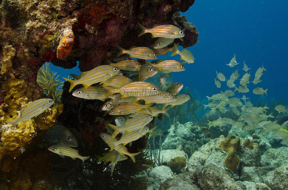 Smallmouth Grunt (Haemulon chrysargyreum)<br /> BONAIRE, Netherlands Antilles, Caribbean<br /> HABITAT & DISTRIBUTION:<br /> Florida, Bahamas, Caribbean, Gulf of Mexico south to Brazil.