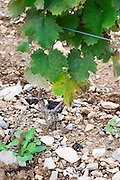 Domaine Haut-Lirou in St Jean de Cuculles. Pic St Loup. Languedoc. Vine leaves. Terroir soil. France. Europe. Soil with stones rocks.