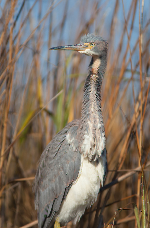 A tricolored heron preens on the edge of a marsh of the May River.