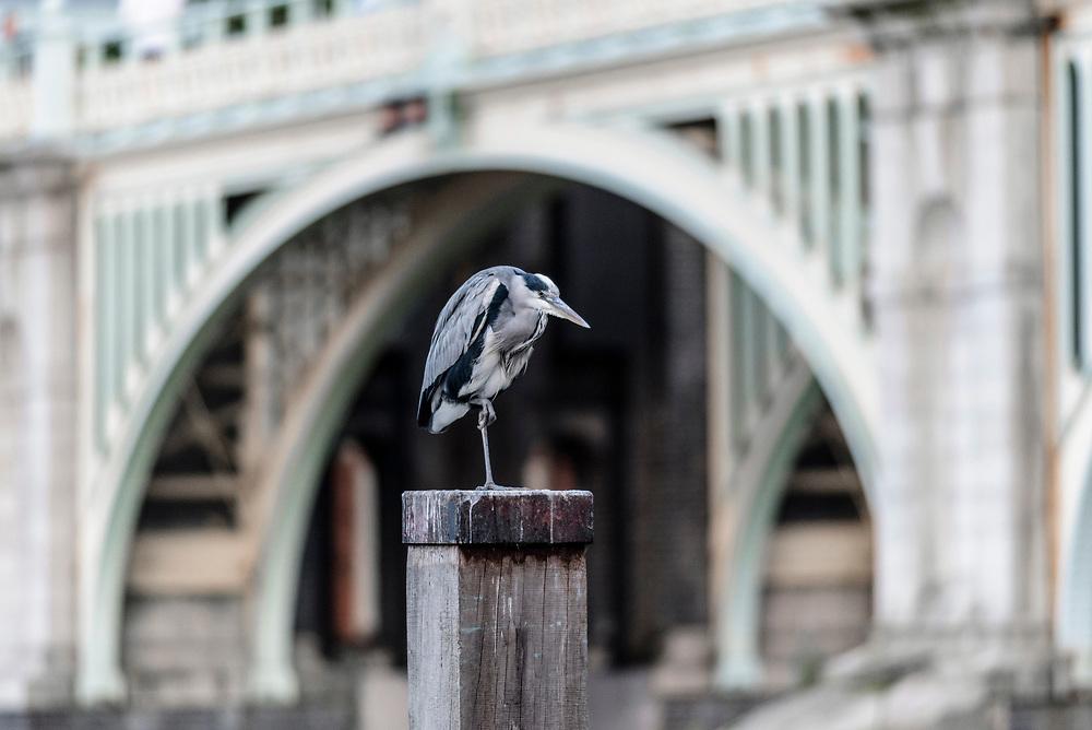 Graureiher in London auf Pfeiler vor Bücke sitzend |UK, England  London Great blue heron in front of a bridge