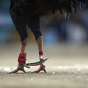 THE PHILIPPINES (Manila). 2009. A game cock, with a three inch razor sharp blade fastened to its left ankles prepares to fight to the death with his opponent at the Pasay Cockpit Arena,  Pasay City, Manila. Photo Tim Clayton <br /> <br /> Cockfighting, or Sabong as it is know in the Philippines is big business, a multi billion dollar industry, overshadowing Basketball as the number one sport in the country. It is estimated over 5 million Roosters will fight in the smalltime pits and full-blown arenas in a calendar year. TV stations are devoted to the sport where fights can be seen every night of the week while The Philippine economy benefits by more than $1 billion a year from breeding farms employment, selling feed and drugs and of course betting on the fights...As one of the worlds oldest spectator sports dating back 6000 years in Persia (now Iran) and first mentioned in fourth century Greek Texts. It is still practiced in many countries today, particularly in south and Central America and parts of Asia. Cockfighting is now illegal in the USA after Louisiana becoming the final state to outlaw cockfighting in August this year. This has led to an influx of American breeders into the Philippines with these breeders supplying most of the best fighting cocks, with prices for quality blood lines selling from PHP 8000 pesos (US $160) to as high as PHP 120,000 Pesos (US $2400)..