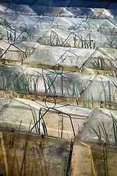 Glass cloches at Little Trevean Nursery, Penzance