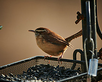 Carolina Wren at a bird feeder. Image taken with a Nikon D850 camera and 500 mm f/4 VR telephoto lens (ISO 125, 500 mm, f/4, 1/500 sec).
