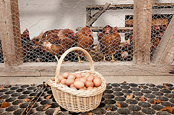 Basket with eggs at henhouse on organic farm