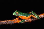 Splendid Leaf Frog (Agalychnis calcarifer)<br /> CAPTIVE<br /> Chocó Region of northwest Ecuador<br /> ECUADOR. South America<br /> Threatened species due to habitat loss.
