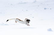 A long-tailed weasel carries a pika across Roberto's run off of High Alpine lift in Snowmass, Colorado.