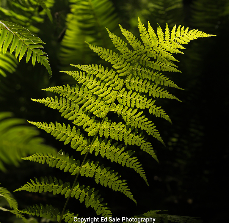 A colorful green fern deep in a Cascade mountains forest is highlighted by sun peaking though the forest canopy
