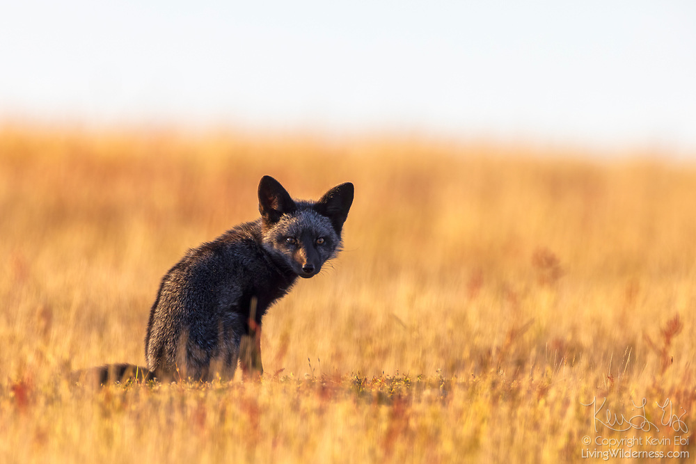 A red fox (Vulpes vulpes) kit sits near the entrance of its den in tall grass in San Juan Island National Historical Park on San Juan Island, Washington. Even the fox appears black, all of the foxes in the park are technically red foxes, regardless of their color. Red foxes were introduced to San Juan Island on various occasions in the 1900s.