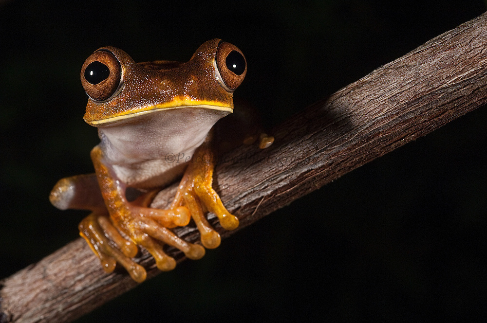Tree Frog (Hypsiboas geograficus) formally Hyla geograficus<br /> Rain Forest<br /> Iwokrama Reserve<br /> GUYANA<br /> South America