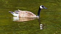 Canada Geese at the Sourland Mountain Preserve. Image taken with a Nikon D3x camera and 180 mm f/2.8 lens.