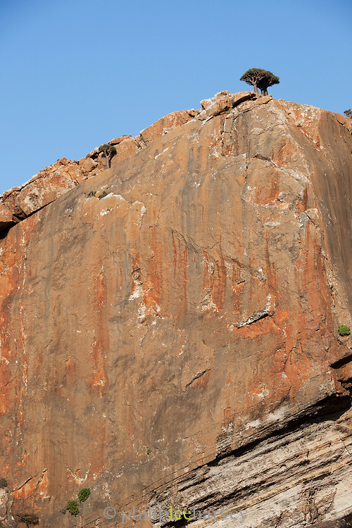 Dragon Blood Trees atop a mountain, Dixsam region, Socotra, Yemen