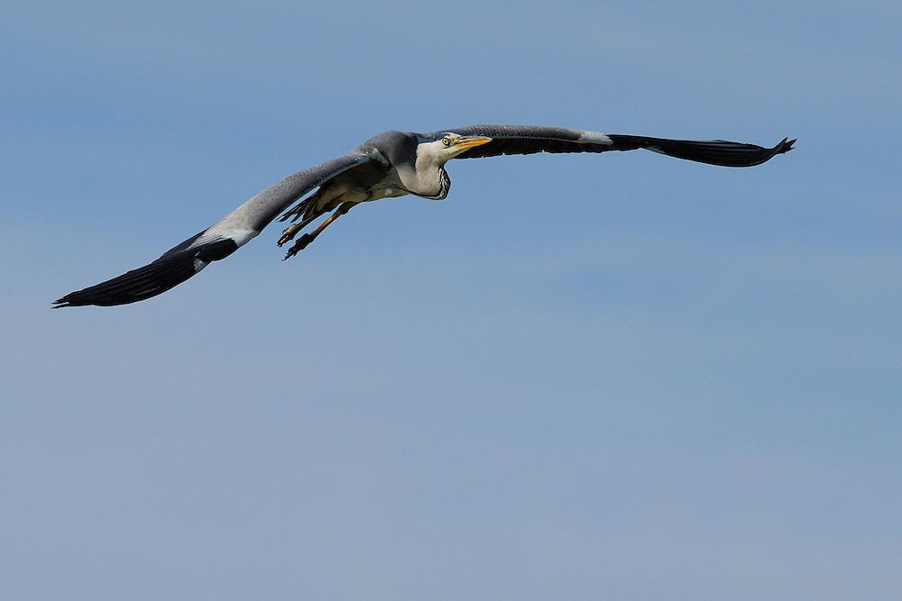 Grey heron, Ardea cinerea, Danube delta rewilding area, Romania