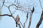 Photograph of a Cooper's Hawk in a tree from the Cave Creek Ranch, AZ