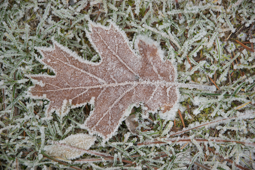 Moisture from the cool winter night condensed to form ice on a oak leaf. Oak describes trees and shrubs in the genus Quercus. About 400 species existand are well- known for their dense wood. Oaks have spirally arranged leaves, with a lobed margin in many species; some have serrated leaves or entire leaves with a smooth margin.
