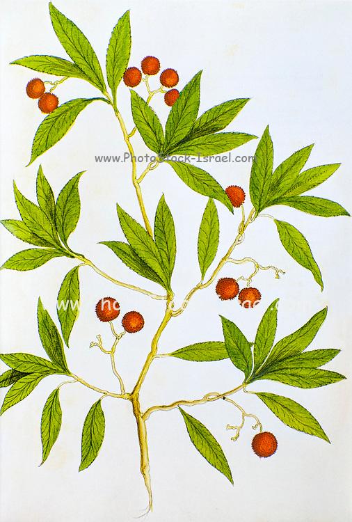 Historical illustration of a Arbutus unedo (strawberry tree) shrub. Published c. 1540 in codex Amphibiorum
