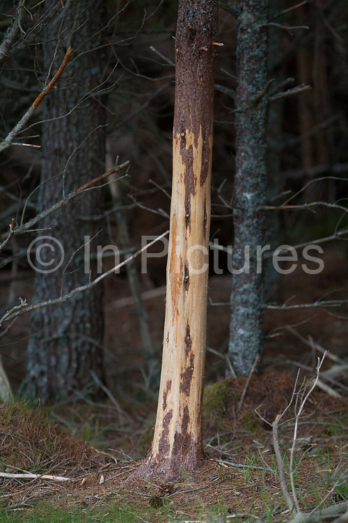 A tree has lost lots of its bark due to red deer rubbing their antlers against the trunk.