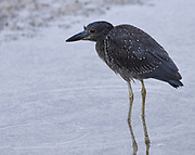 An immature yellow-crowned night heron (Nyctanassa violacea) hunts for food on the beach at Puerto Baquerizo Moreno. This bird is endemic to Galapagos. Puerto Baquerizo Moreno, San Cristobal, Galapagos, Ecuador.