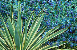 Cerinthe major 'Purpurascens' (Honeywort) with Yucca gloriosa 'Variegata' AGM (Variegated Spanish dagger)