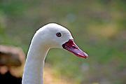 Swan close up
