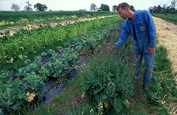 Farmer sorting brassicas on organic farm; Co Durham UK