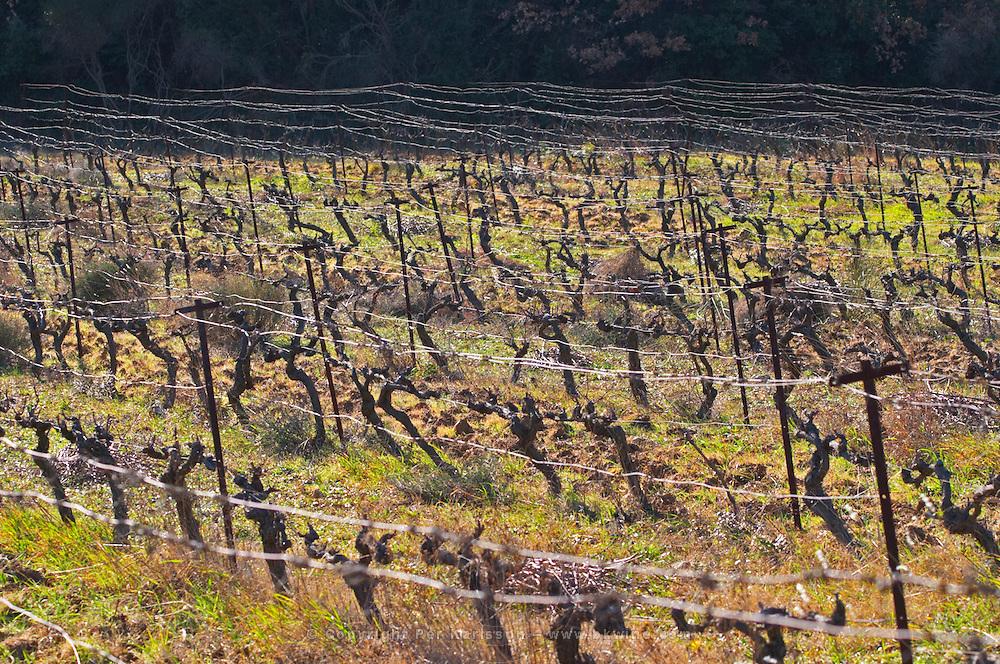 Domaine Fontedicto, Caux. Pezenas region. Languedoc. Vines trained in Cordon royat pruning. 30 year old Syrah grape vine variety. France. Europe. Vineyard.