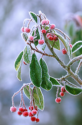 The fruits of Photinia davidiana 'Palette' syn. Stranvaesia  davidiana 'Palette' in winter.