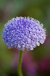 Didiscus 'Blue Lace' syn. Trachymene coerulea 'Blue Lace'