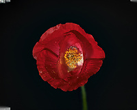 Red Poppy Flower. Backyard spring nature in New Jersey. Focus stacked composite of 33 mages taken with a Nikon Df camera and 105 mm f/2.8 VR macro lens and SB-910 flash (ISO, 105 mm, f/4, 1/60 sec). Images processed with Capture One and Helicon Focus (pyramid)