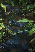 The remote sedge (Carex remota) growing along small stream, near Amata, Vidzeme, Latvia Ⓒ Davis Ulands | davisulands.com