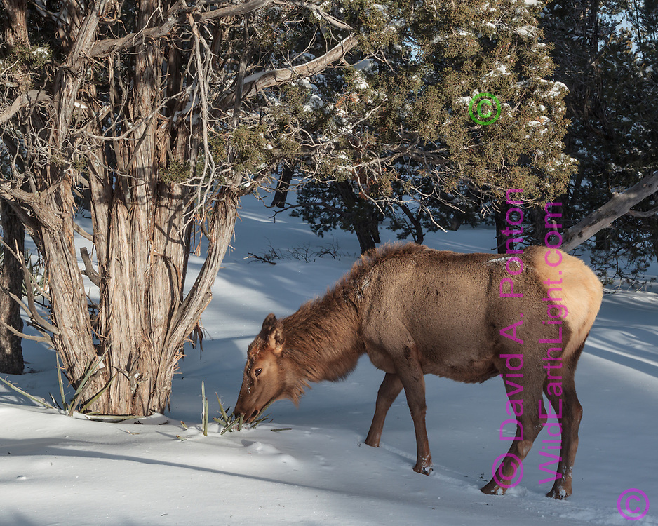 Cow searches for edibles in fresh snow in pinon-juniper woodland, south rim, Grand Canyon National Park, © David A. Ponton
