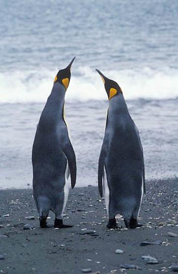 King Penguin, (Aptenodytes p.patagonica) Pair of adults. South Georgia Islands.