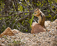 Chipmunk chewing on some grass. Rocky Mountain National Park. Image taken with a Nikon D2xs camera and 105 mm f/2.8 VR macro lens (ISO 100, 105 mm, f/11, 1/160 sec).