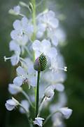 Allium sphaerocephalon - round-headed leek and Chamerion angustifolium 'Album' - white rosebay willowherb