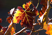 autumn colours vineyard quinta do seixo sandeman douro portugal